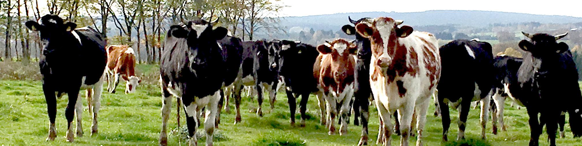 Kühe in Monschau Imgenbroich