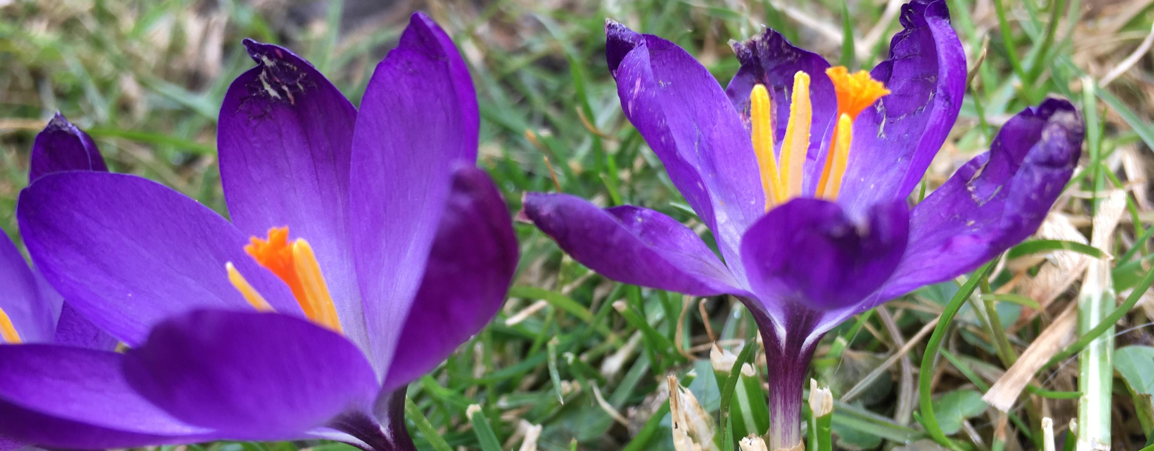 Blauer Krokus im Garten zum Frühlingsanfang
