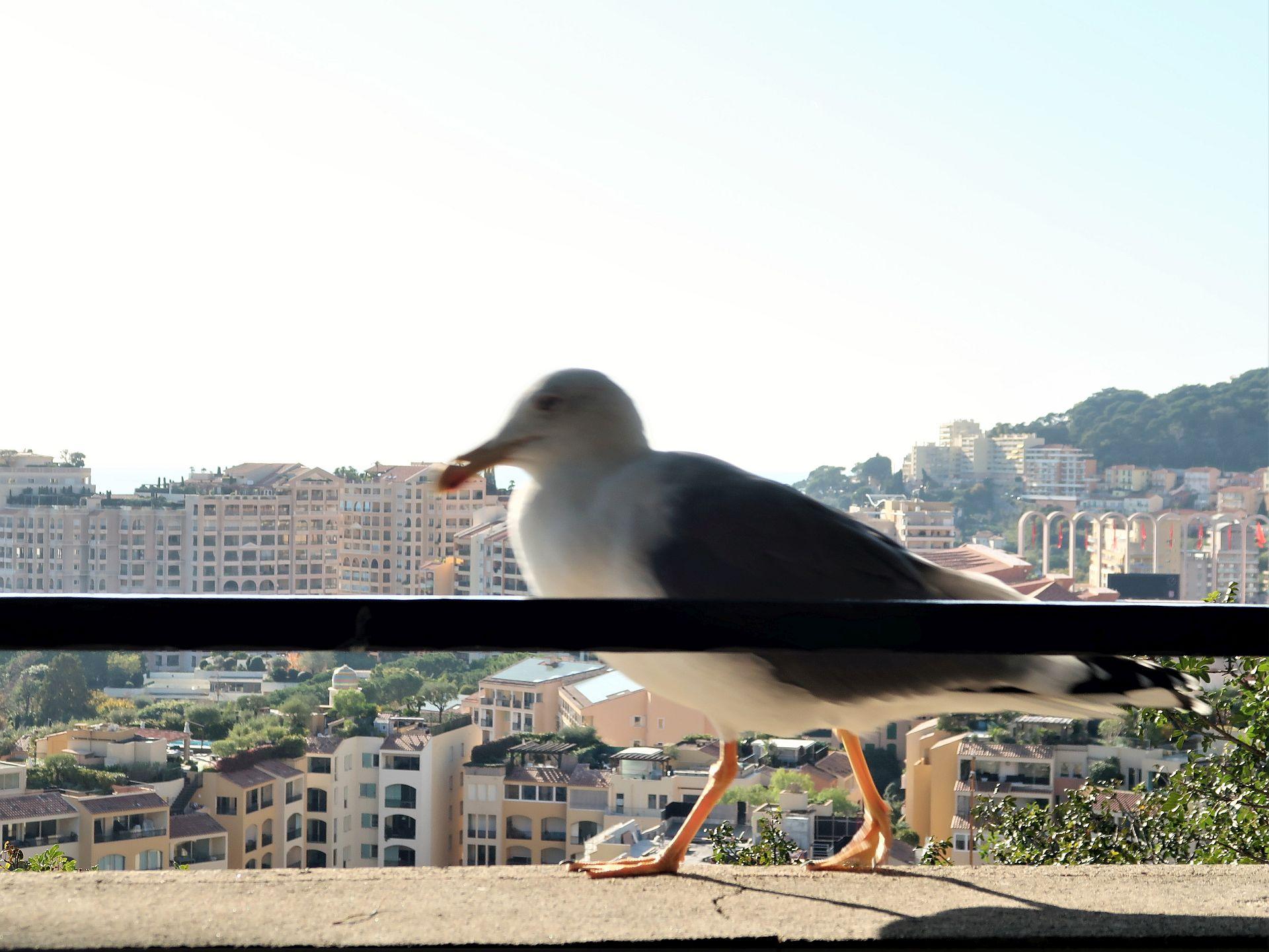 Möwe in der Altstadt von Monte Carlo