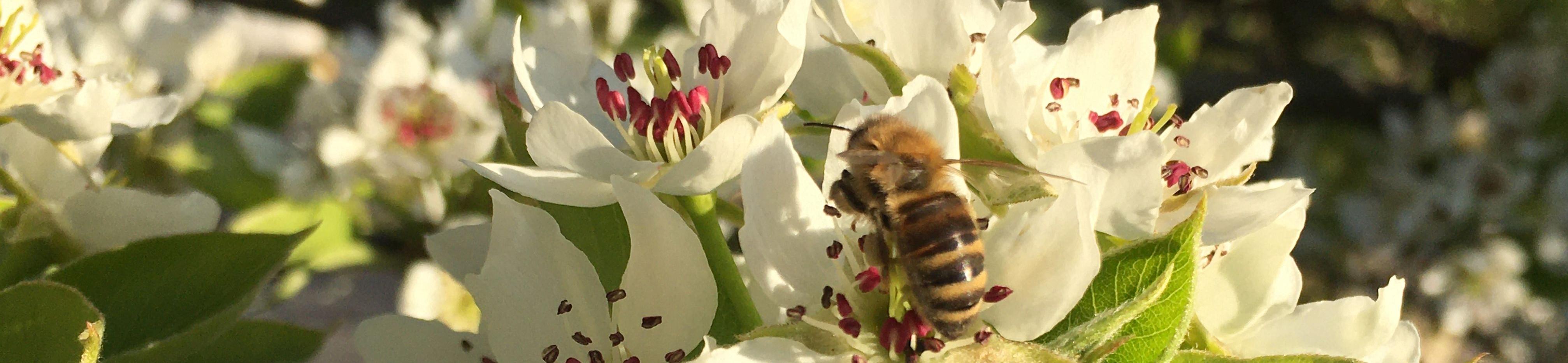 Biene in Blüte der Nashi Birne